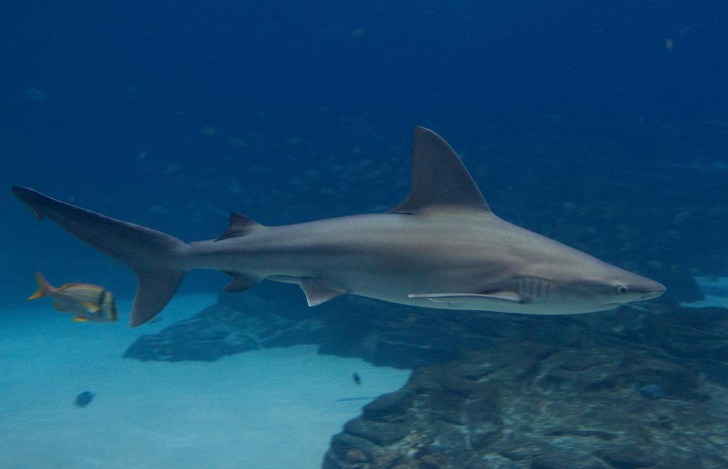 Tiburón gris nadando cerca del fondo. Autor, Brian Gratwicke