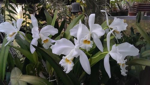 Cattleya gaskelliana var. alba