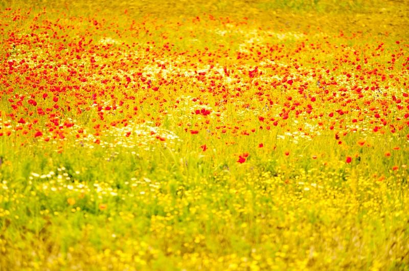 poppyfields8