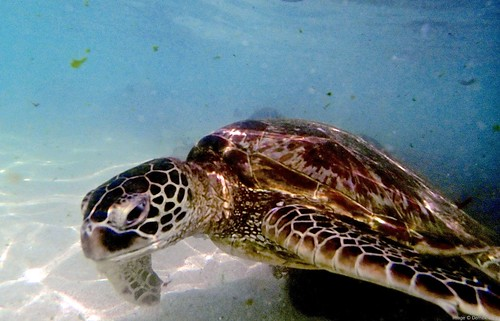 Turtle, North Shore Oahu
