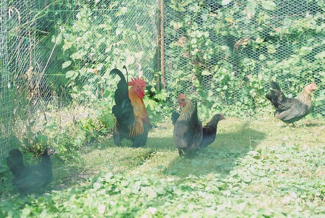 Pake's chickens