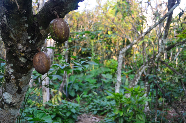 photo of Ivory Coast Cocoa plantation