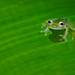 Emerald Glass Frog. Tim Melling.