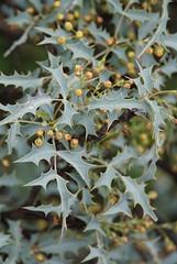 Arizona holly (Redberry Barberry (Mahonia Haematocarpa)