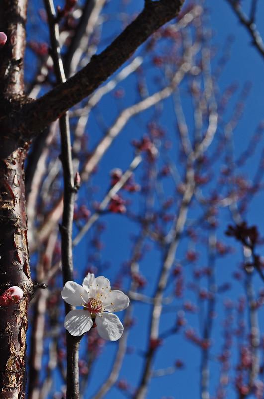 Prunus cerasifera (1)