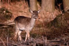 Fallow Deer Fawn (Explored)