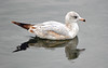 Ring-Billed Gull (2nd year plumage) by Stan in FL