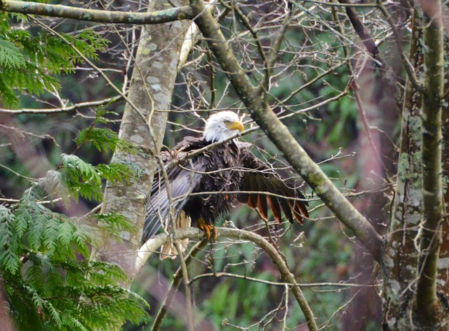 Bald Eagle_2015-02-08_14-46-14_DSC_0662_©MariaLavis
