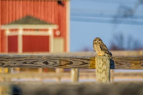 winter bird nature burlington newjersey nikon unitedstates wildlife mercer owl springfield raptors birdofprey shortearedowl mercersodfarm