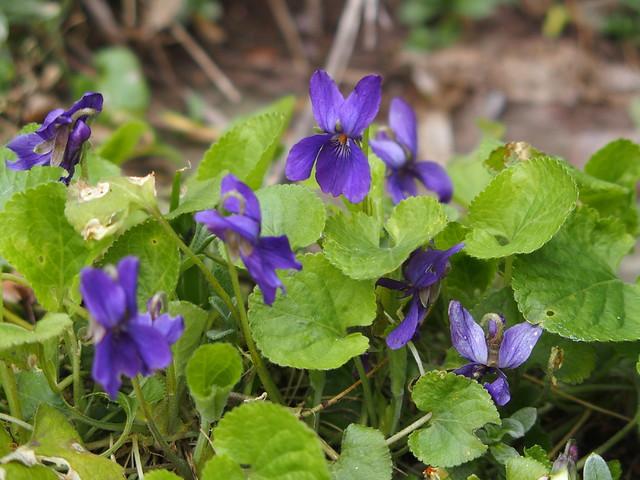 Violet plantss