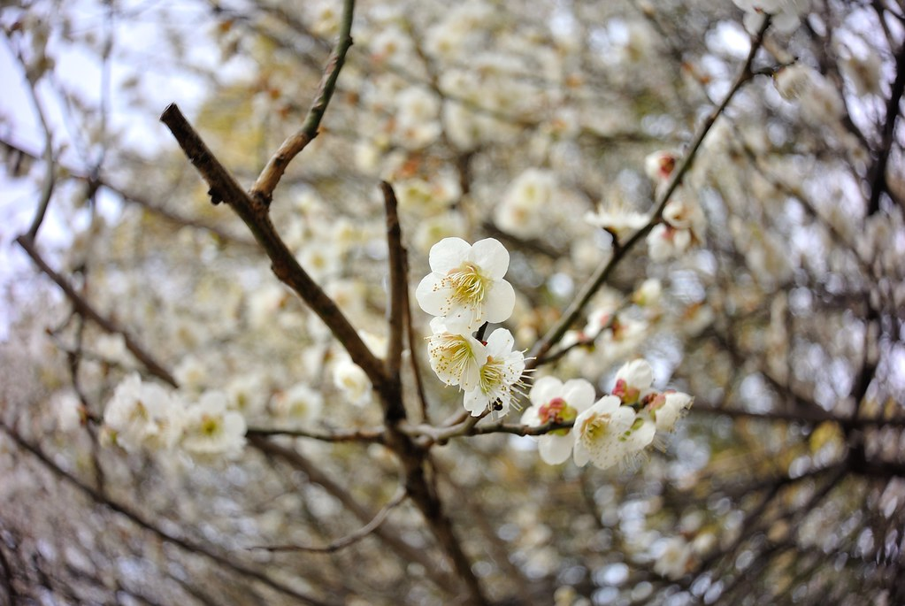 Plum blossoms in Mejo park 2015/03 No.1.