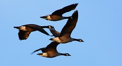 animal migration, animal, water bird, goose, duck, wing, fauna, mallard, bird migration, bird,