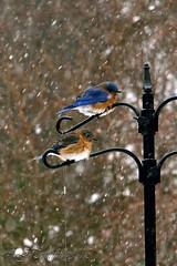 Eastern Blue Birds