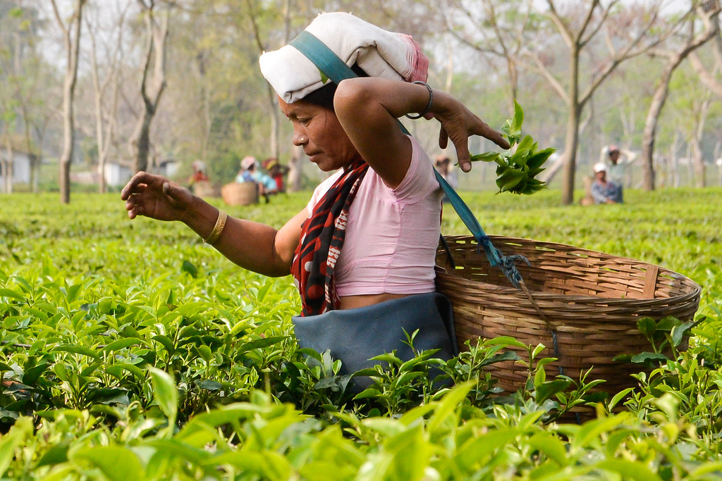 woman plucking tea in Assam