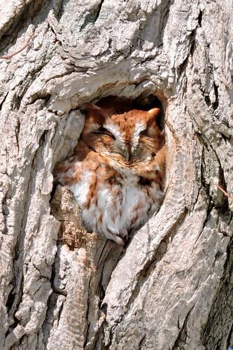 Screech Owl #61