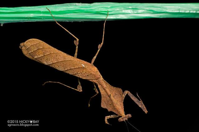 Dead leaf mantis (Deroplatys sp.) - DSC_4246