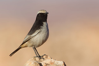 Red-rumped Wheatear  (Oenanthe moesta) - Boulmalne-du-Dades, Morocco.