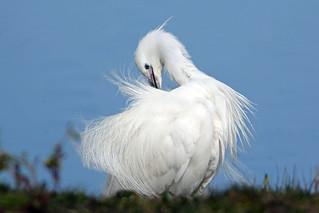 Little Egret preening (Explore)