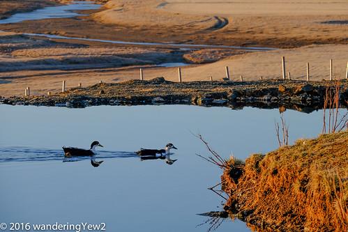iceland duck farm fujixpro2 hraunsneffarm