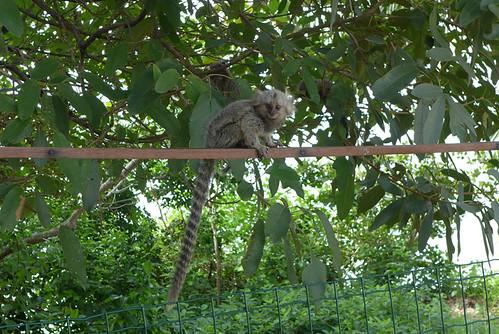 Scimmia in visita