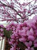 Eastern redbud (Cercis canadensis) in bloom