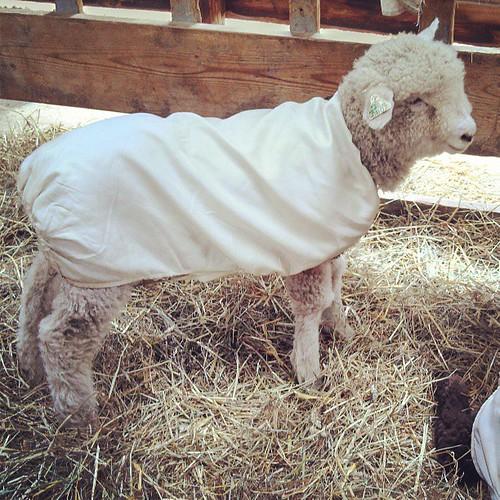 Baby baaaaaa! #sheep #NHSheepandWool #cute #fiber