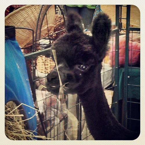 Got #Alpaca ? #NHSheepandWool #cute #fiber