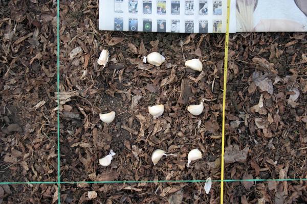 garlic nines