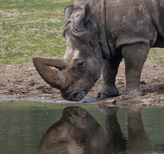 Mirror mirror on the wall who is the pretiest Rhino ?