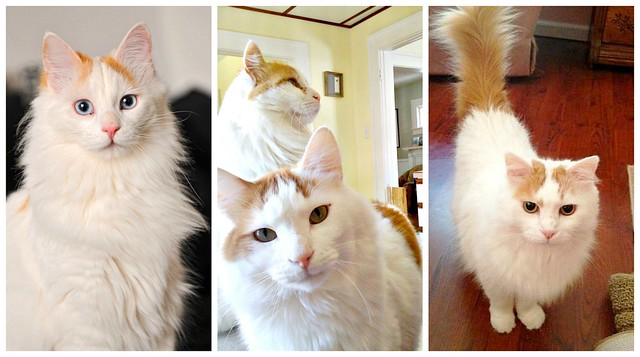 Turkish Van Cats