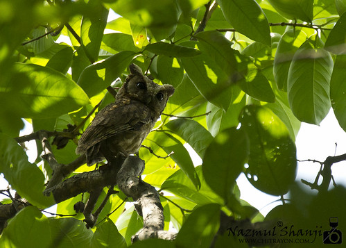 Collared Scoops Owlet (Botanical Garden/ 11-05-13)