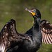 <p>Double Crested Cormorant<br /> <br /> Looking like a million bucks!</p>
