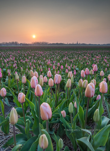 admire the blooming flower fields at sunrise by Nathalie Stravers