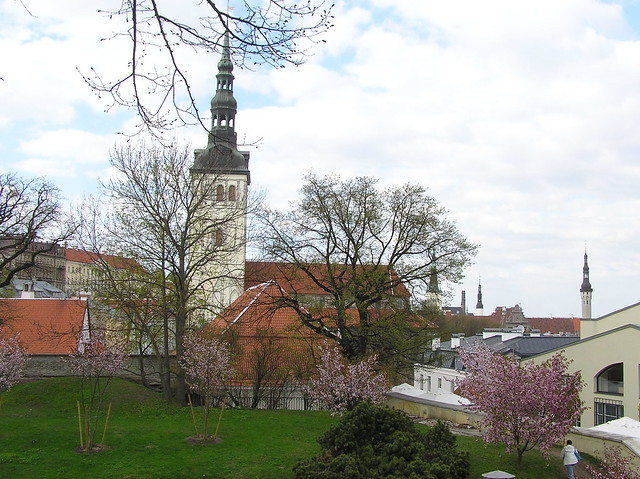 Cherry trees in Tallinn