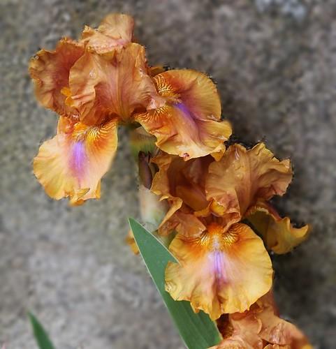 Iris 'Bohemian' - Schreiner 1988 8739555113_e04da83eb1
