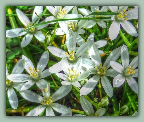 White Star Flowers~
