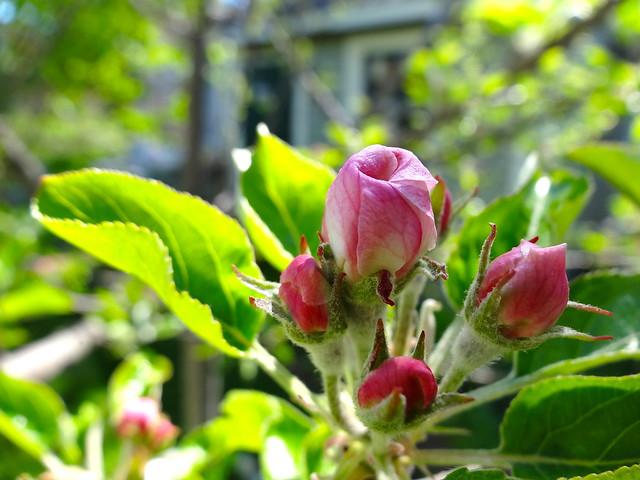 rose-like