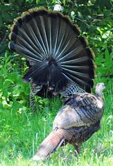 turkey(1.0), animal(1.0), peafowl(1.0), fauna(1.0), wild turkey(1.0), bird(1.0), galliformes(1.0), wildlife(1.0),