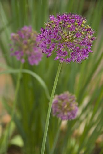 Allium and Panicum