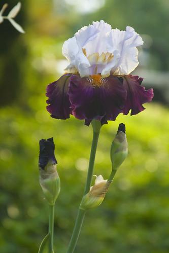 Bicolor Iris 2