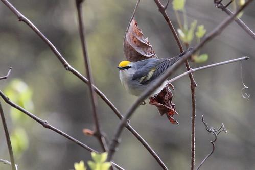 Brewster's warbler by ricmcarthur