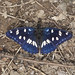 Southern White Admiral - Photo (c) Dragan Gucunski, some rights reserved (CC BY-NC-SA)