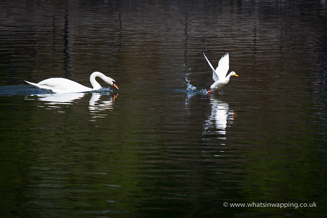 White duck being chased by swan