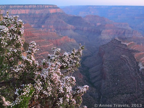 Before sunrise; flowers along the Grandview Trail, Grand Canyon National Park, Arizona