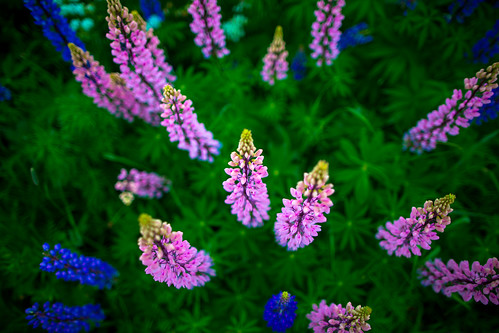 travel pink flowers blue summer abstract colour green slr nature colors digital canon project finland photography eos photo colorful europe flickr view photos bokeh pics vibrant ngc perspective magenta vivid pic photographs shutter expressive imagination 365 dslr lupin lupinus project365 365days bokehlicious 365project 5dmkiii 5dmarkiii youperspective