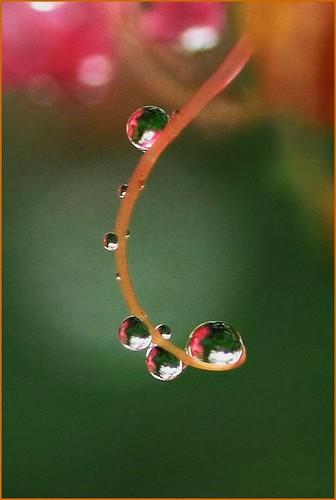 Drops (Crape myrtle)