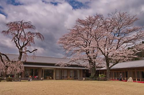 【写真】桜 : 宇多野ユースホステル