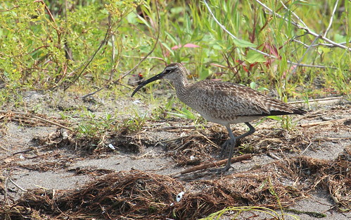 Whimbrel by ricmcarthur