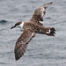 Great Shearwater by scelorchilus