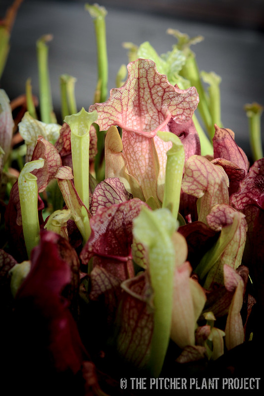 "Sarracenia ""Green Monster"" x rosea ""Big Mama""-1"